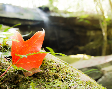 phukradueng: Maple Leaf for PhuKradueng in Thailand