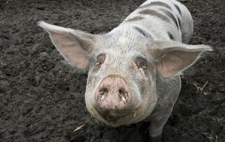 stockman: Pig with black spots