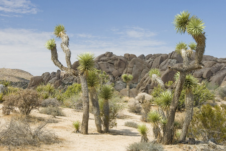 joshua: Joshua Tree National Park, USA Stock Photo