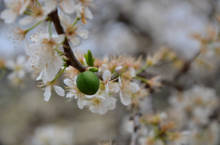 fruitage: Prunus salicina and plum