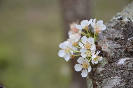 prunus: Prunus salicina