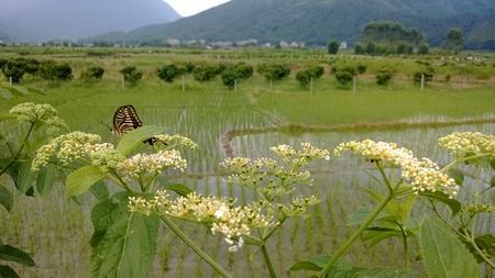 paddy field: Butterfly on paddy field