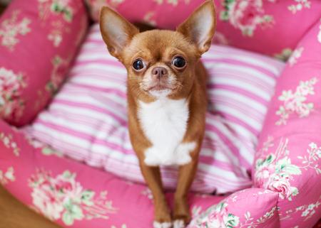 short hair dog: Sweet Chihuahua Stock Photo