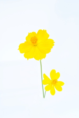 yellow  flower isolated on white background Stock Photo