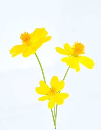 yellow flower isolate on white background Stock Photo