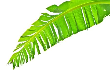 banana leaf: Hoja de pl�tano aislado Foto de archivo