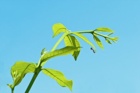 Green leaf with a ant on blue sky  background
