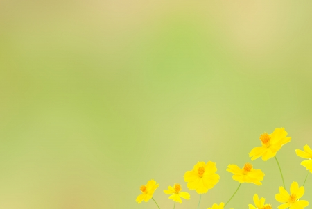 yellow  flower on pale green background photo