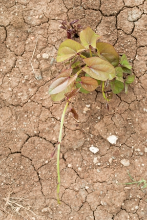 young tree growing on  cracked soil  photo