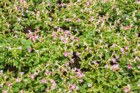 white trim: Many small purple flowers white trim.