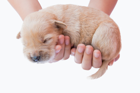 Puppy in hand, on white puppies, puppy, sleeping, cute puppies, puppies hold,golden puppy