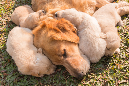The Golden puppy is sleeping in his mother's side in the sunshine. Zdjęcie Seryjne