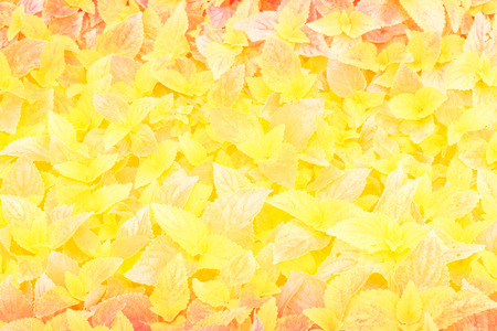 yellow background: Multi colored background Golden leaf.