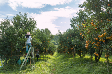 Farmer harvesting oranges in an orange tree field Imagens