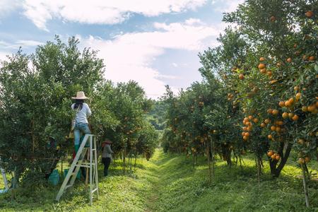 naranja arbol: naranjas granjero que cosecha en un campo de árboles de naranja Foto de archivo