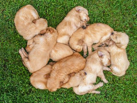 Golden cachorros dormidos en un césped.