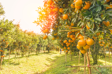 Orange orchard in northern Thailand Stock Photo