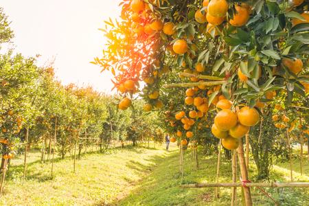 Orange orchard in northern Thailand Stockfoto