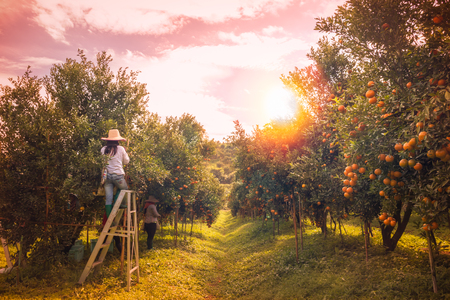Farmer oogsten sinaasappelen in een boom veld oranje Stockfoto