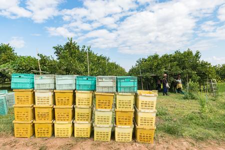 background Farmer harvesting oranges Editorial