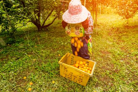 background Farmer harvesting oranges Lizenzfreie Bilder