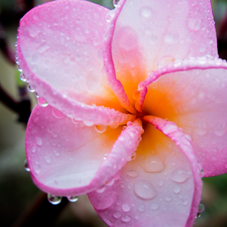 Plumeria in pink dark macro. Lizenzfreie Bilder