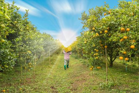 Farmer harvesting oranges In the morning.