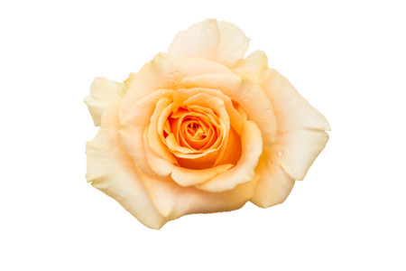 yellow rose isolated on white background. Top view.