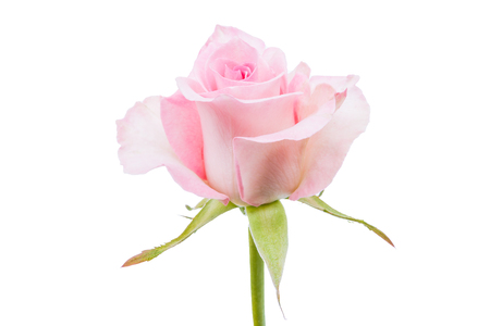 pink rose isolated on white background. Top view.
