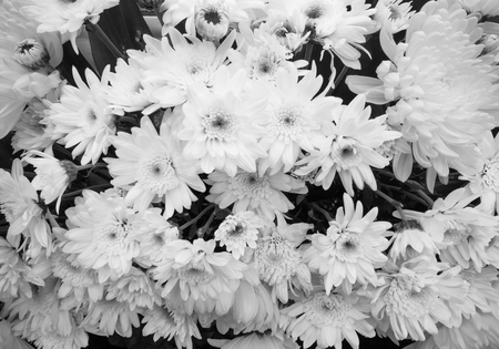 close-up chrysanthemums flowers black and white
