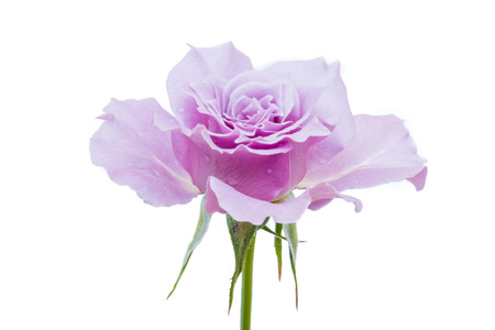 purple rose isolated on white background. Top view. Lizenzfreie Bilder