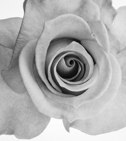 black and white rose isolated on white background. Top view.