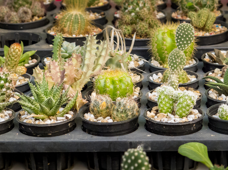 Many beautiful cactus species in pots.