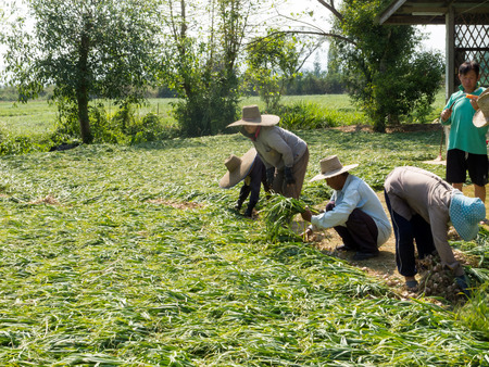 Farmers are helping each other. Harvesting in the countryside