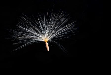 Flying seed of horseradish on black ground