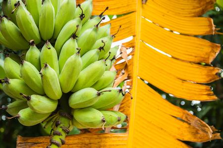 closeup green banana Lizenzfreie Bilder