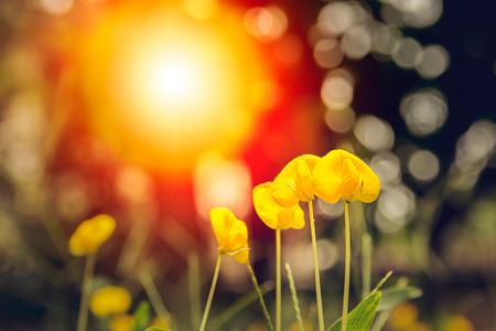 arachis: close-up Arachis pintoi and sunlight.