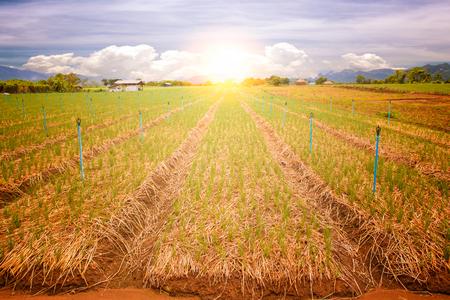 sunrise onion field in rural