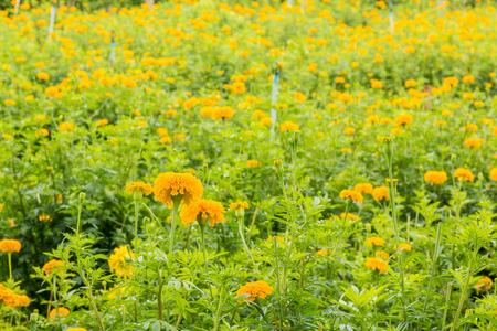 sunrise marigold field in morning