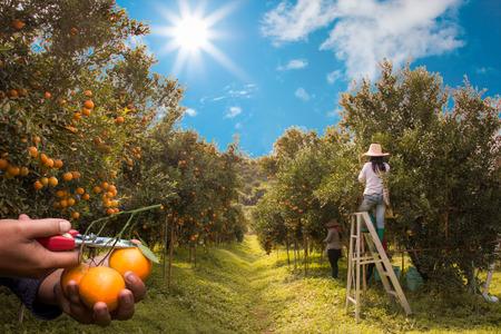 Farmer harvesting oranges Lizenzfreie Bilder