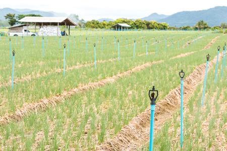 onion field in rural