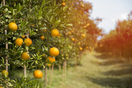 Tangerine sunny garden with green leaves and ripe fruits sunrise