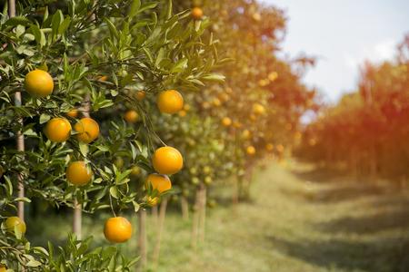 tangerine jardin ensoleillé avec des feuilles vertes et des fruits mûrs sunrise