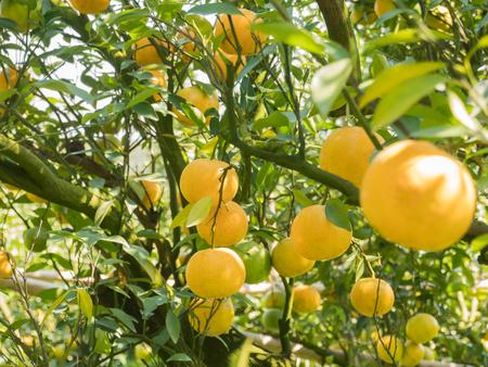 Nahaufnahme Orangenplantage in Nordthailand