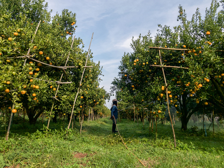 Agriculteurs arrosant les champs d'orange Banque d'images