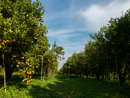 background Orange farm ready to harvest