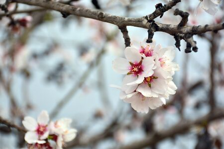 Almond blossom in winter