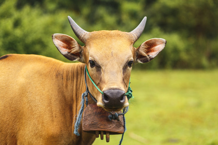 portrait balinese brown color cow grazing in a meadow Stock Photo