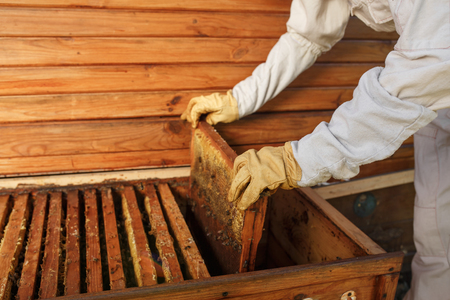 hands of beekeeper pulls out from the hive a wooden frame with honeycomb. Collect honey. Beekeeping concept. Stock Photo