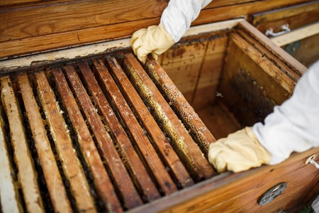 hands of beekeeper pulls out from the hive a wooden frame with honeycomb. Collect honey. Beekeeping concept. Banque d'images